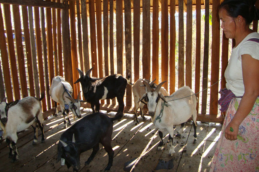 The families built shelters for their goats to protect them from rain and diseases