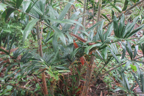 A rattan palm planted in the forest